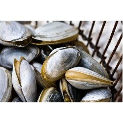 WHOLE SHELL CLAM (500GM X 20PKT)